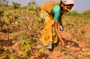 Cotton being picked by hand in
