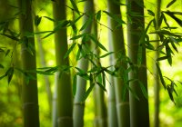 Fabrics marketed as organic bamboo are now actually likely rayon made from bamboo materials. Producing rayon involves many chemical compounds along with other eco damaging facets. (Shutterstock*)