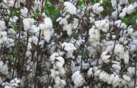 What is cotton cloth?